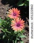 Small photo of Rusty Orange African Daisy