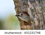 A Red Bellied Woodpecker On An...