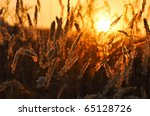 Summer field, sunset, corn feathers, landscape