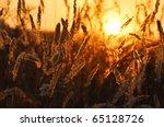 Summer Field  Sunset  Corn...