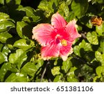 carmine  pink suffused with...   Shutterstock . vector #651381106