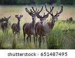 Group Of Red Deers With Growin...