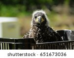Small photo of Littlle aegle. Baby, child bird. Birdwatching in box.