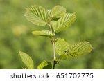 the twig of hazel wood. | Shutterstock . vector #651702775