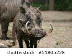 warthog face | Shutterstock . vector #651805228