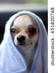 chihuahua under a blue blanket | Shutterstock . vector #651820768