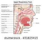 upper respiratory tract cross...   Shutterstock . vector #651825415