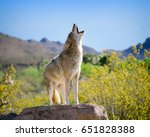 Howling coyote with yellow...