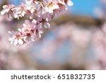 pink flowering almond trees...   Shutterstock . vector #651832735