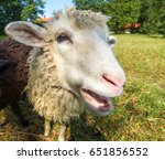 Sheep Looking At The Camera....