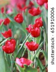 bright red tulips blossoming in ... | Shutterstock . vector #651910006