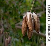 fresh ceiba pods on tree  white ... | Shutterstock . vector #651916996