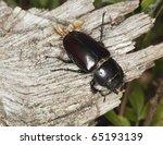 Female Stag Beetle  Lucanus...
