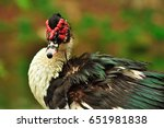 Muscovy Duck Or Barbary Duck