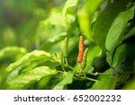 piper longum | Shutterstock . vector #652002232