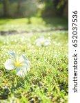 Small photo of White Plumeria flower drop on grass in brighten sunshine day
