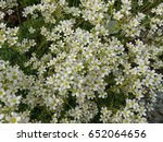 Small photo of Alpine saxifrage, Saxifraga paniculata, Saxifragaceae family