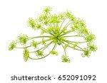 Wild Fennel Flowers Closeup...