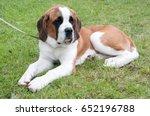 saint bernard puppy on grass | Shutterstock . vector #652196788
