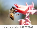 A Honey Bee On A Pink Flower At ...