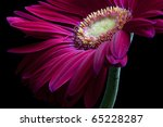 Hot Pink Gerber Daisy On Black...