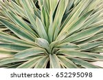 close up variegated yucca... | Shutterstock . vector #652295098
