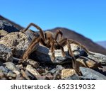 Desert Tarantula In The Mohave...