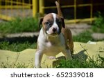 amstaff puppy   Shutterstock . vector #652339018