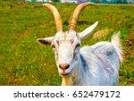 White Goat Portrait. Goat...