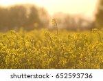 oil seed rape field in sunset | Shutterstock . vector #652593736