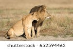 mating pair of african lions in ...   Shutterstock . vector #652594462