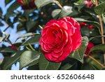 japanese camellia  camellia... | Shutterstock . vector #652606648