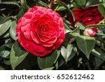 japanese camellia  camellia... | Shutterstock . vector #652612462