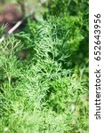 young green dill  growing of... | Shutterstock . vector #652643956