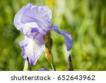delicate purple irises on a... | Shutterstock . vector #652643962