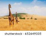 masai giraffes walking in the... | Shutterstock . vector #652649335
