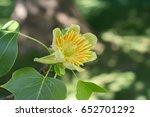 isolated flower of tulip tree   ... | Shutterstock . vector #652701292