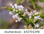 pichi fabiana imbricata flowers.... | Shutterstock . vector #652701298