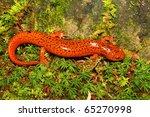 Red Salamander  Pseudotriton...