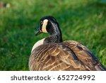 Close Up Of A Canada Goose ...
