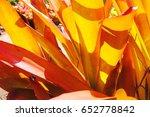 Small photo of Orange Bromeliad (Aechmea blanchetiana)