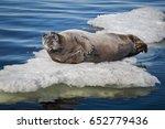 bearded seal  square flipper... | Shutterstock . vector #652779436
