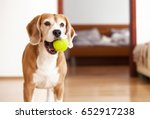 Stock photo beagle dog with tennis ball wants to play 652917238