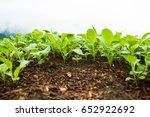 seedling vegetable ant view... | Shutterstock . vector #652922692