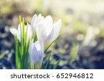 blooming white crocus close up... | Shutterstock . vector #652946812