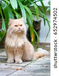 brown persian cat sitting on... | Shutterstock . vector #652974502