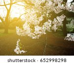 full bloom sakura flower with... | Shutterstock . vector #652998298