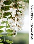 Small photo of White acacia blossom
