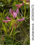 Small photo of Alpine Clover - Trifolium alpinum Pink Alpine Flower