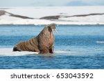 walruses on spitsbergen